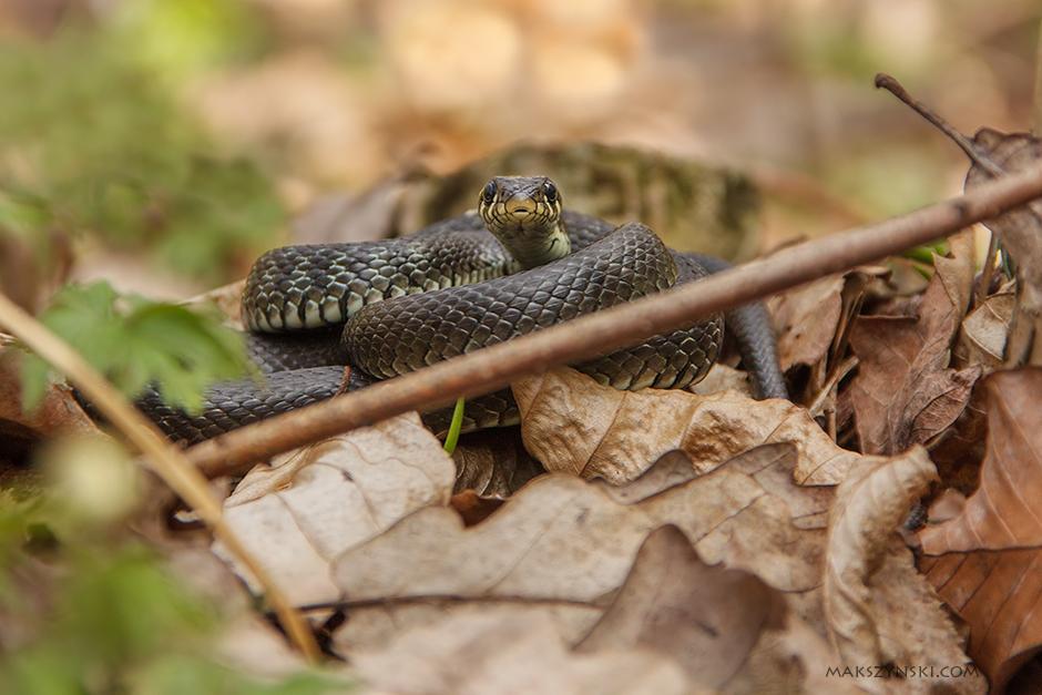 Zaskroniec  Grass Snake (Natrix natrix)